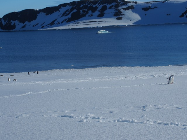 Ferocious chinstrap penguins heading over to tear us to pieces. . . Well, not really.