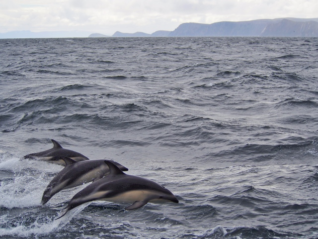 just one family (I think) out of a pod off Cape Horn